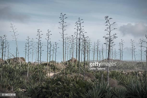 Landscape of agaves