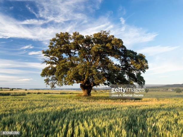 landscape of an agricultural field of cereal of wheat with a blue sky to the late afternoon in spring, castilla la mancha, spain - oak tree stock pictures, royalty-free photos & images
