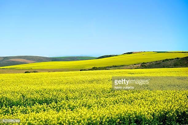landscape of canola fields - オーバーバーグ郡 ストックフォトと画像