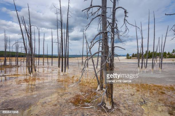 Landscape of dead trees in shallow water pool at Yellowstone National Park, Wyoming.