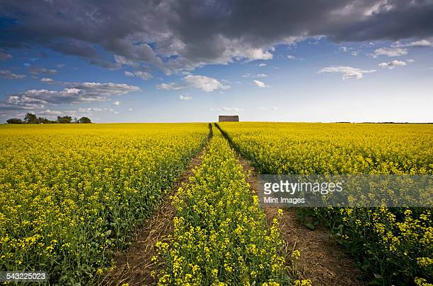 a landscape of flowering canola crops, with yellow flowers. the planted prairie.  - サスカチュワン州 ストックフォトと画像