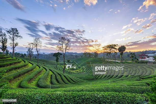 Landscape of green tea plantations beautiful in the morning