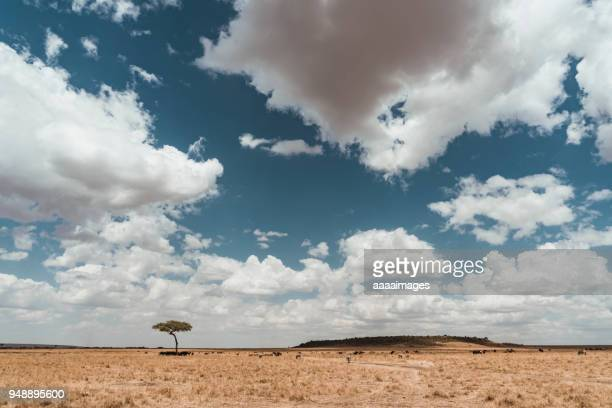 landscape of savannah with acacia trees,kenya - wildlife reserve stock photos and pictures
