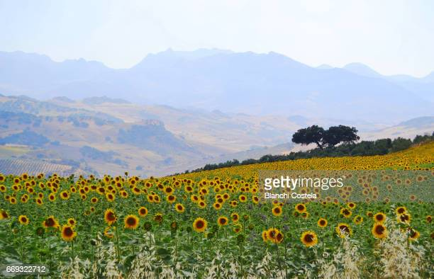 Landscape of sunflowers in the mountains