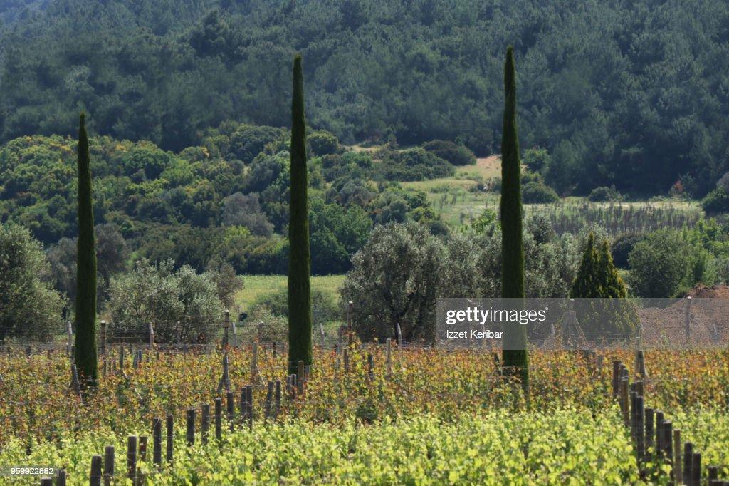 Landscape of vineyards and nature at Urla Izmir Turkey : Stock-Foto