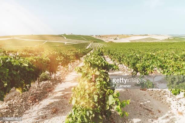 landscape of vineyards at sunset - jerez de la frontera fotografías e imágenes de stock