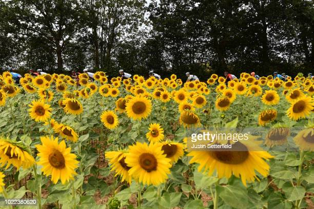 Landscape / Peloton / Sunflowers / during the 33rd Deutschland Tour 2018, Stage 2 a 196km stage from Bonn to Trier / Deine Tour / on August 24, 2018...