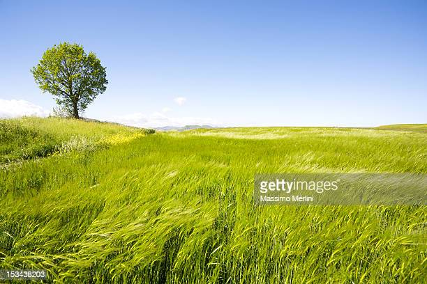 Landscape photograph of a lonely tree in a green field