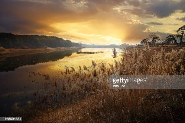 landscape - reed grass family stock photos and pictures
