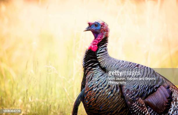 landscape profile of a tom turkey at elizabeth morton wildlife preserve - funny turkey images stock photos and pictures