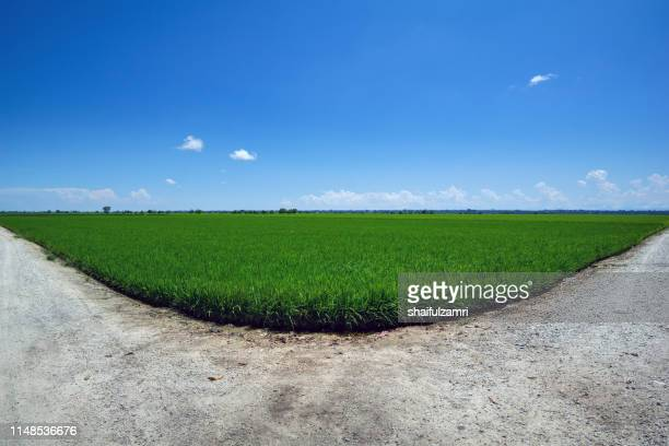 Landscape scenery of green paddy field in Sekinchan, Malaysia.