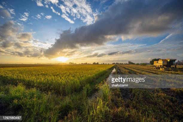 landscape scenery of green paddy field in sungai besar, malaysia. - shaifulzamri stock pictures, royalty-free photos & images