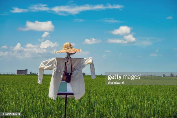 landscape scenery of green paddy field with scarecrow in sekinchan, malaysia. - shaifulzamri stock pictures, royalty-free photos & images