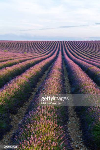 Landscape: scenic lavender field, Provence, France