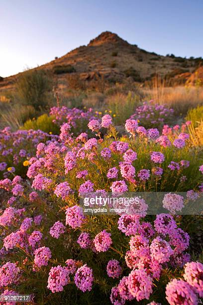 landscape sunset wildflower mountain desert - lantana stock pictures, royalty-free photos & images