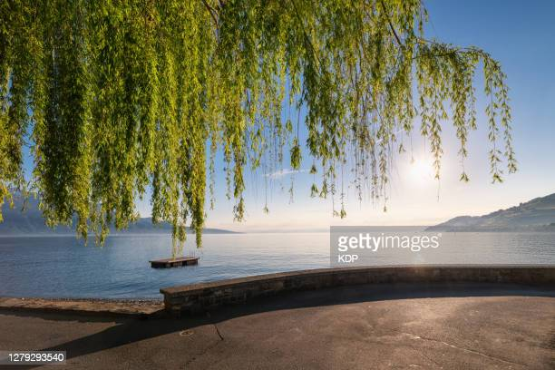 landscape tranquil scene and beautiful weeping willow tree of lake geneva, vevey, switzerland. - montreux stock pictures, royalty-free photos & images