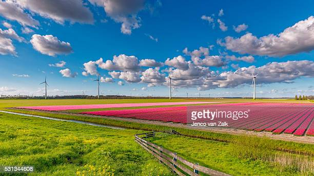 Landscape tulips and windmills