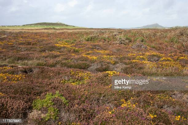 Landscape view looking inland across rocks covered in heather and headland at St Davids Head near St Davids Pembrokeshire Wales United Kingdom