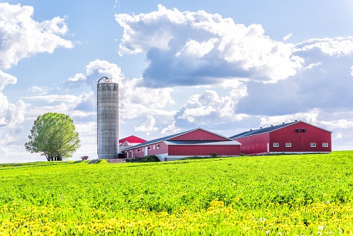 Landscape view of farm in Ile D'Orleans, Quebec, Canada with red harvest or crop storage silo building, green field of grass, dandelion flowers and cloudy, cloud sky 915761694