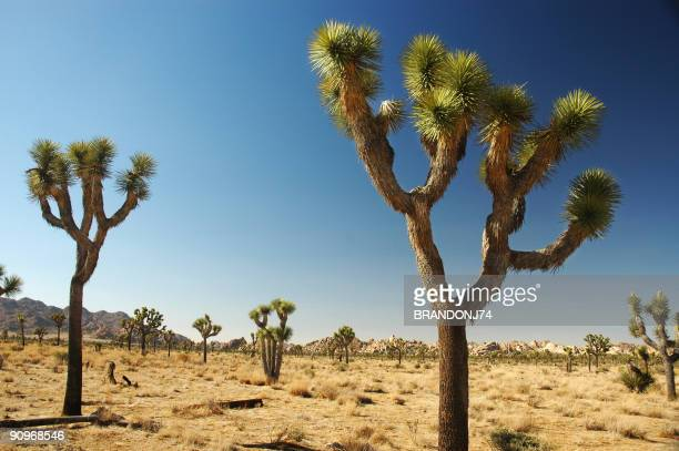 landscape view of joshua tree national park - joshua tree stock photos and pictures