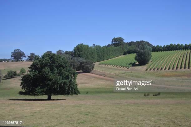 landscape view of wine vineyard growing in  south western australia - rafael ben ari bildbanksfoton och bilder