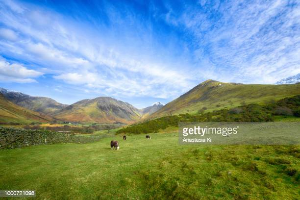 Landscape with a flock of Herdwick sheep grazing near Wast Water