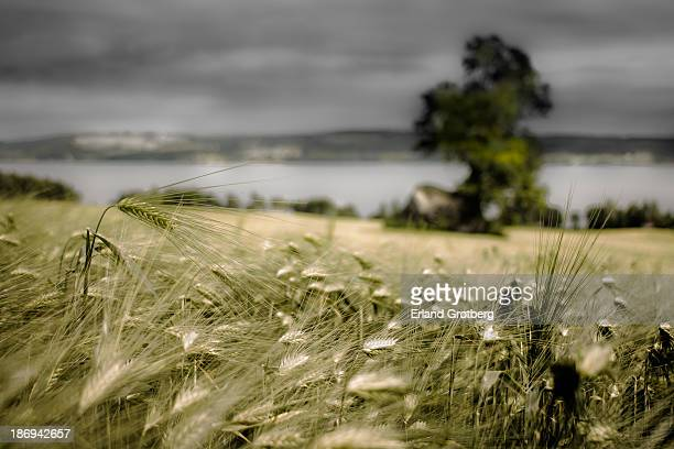 landscape with a lake and a field of barley - softfocus stockfoto's en -beelden