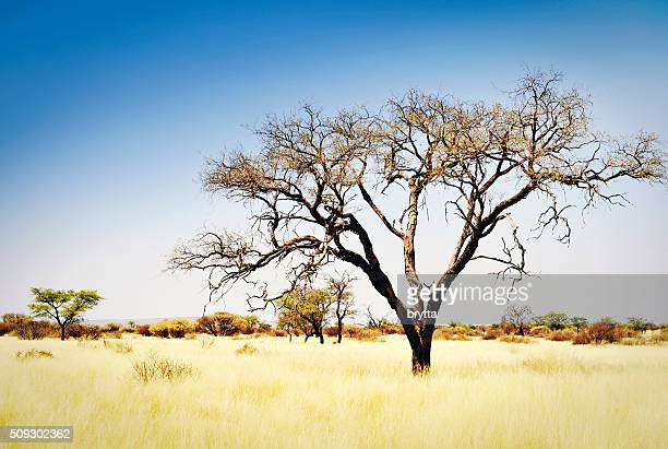 Landscape with acacia trees and dry grasses, Namibia,Africa