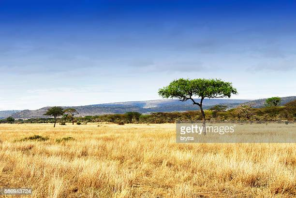 landscape with acacia trees in the ngorongoro crater, tanzania - afrika stockfoto's en -beelden