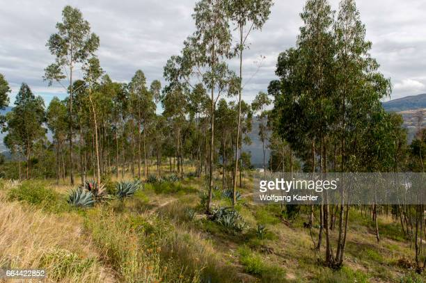 Landscape with agave plants and eucalyptus trees north of Quito Ecuador