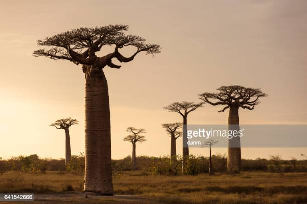 Landscape with Baobab in front and in background in Madagascar, Africa.