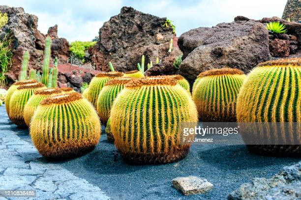 landscape with cacti in lanzarote - lanzarote stock pictures, royalty-free photos & images