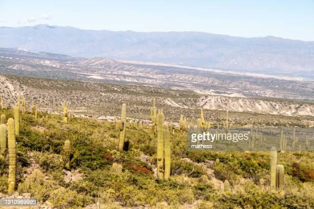 landscape with cacti near amaicha del