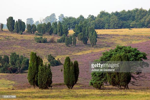 landscape with flowering heather (calluna vulgaris) and common juniper (juniperus communis) in the early morning fog, nature reserve lueneburg heath, lower saxony, germany, europe, - lüneburg stock photos and pictures