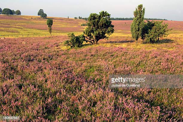 landscape with flowering heather (calluna vulgaris) and juniper (juniperus communis) in the morning light - lueneburg heath - lower saxony, germany, europe, - lüneburg stock photos and pictures