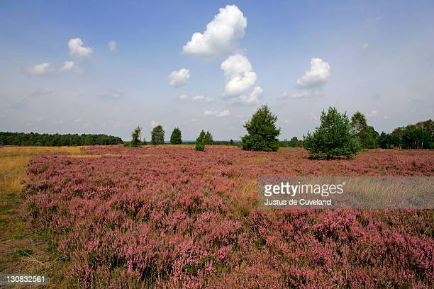 landscape with flowering heather (calluna vulgaris) nature reserve lueneburg heath, lower saxony, germany, europe, - lüneburg stock photos and pictures