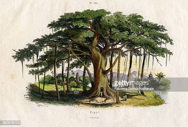 Landscape with great plant of the order of the Piperales order of aromatic tropical plants The pipal fig tree is also called 'religious' or 'pagodas'...