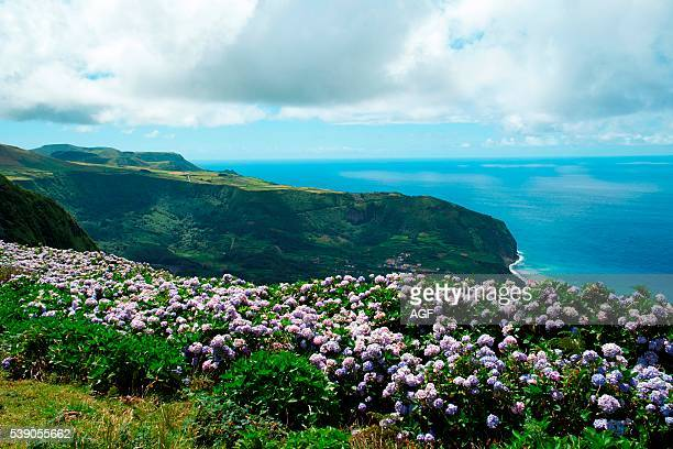 Landscape with green gliff and closeup of hedges of hydrangea in Flor De Mar island Azores