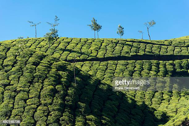 Landscape with green tea bushes and blue sky situated around 1600 m above sea level in the Western Ghats