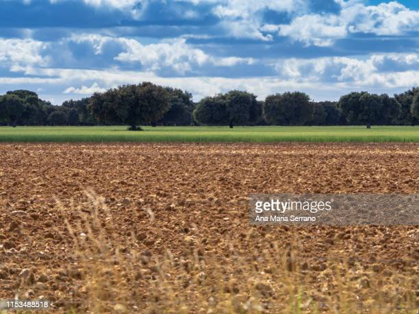 landscape with holm oaks, plowed fields and wheat fields - 休耕田 ストックフォトと画像