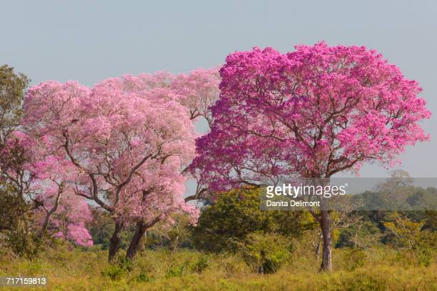 landscape with ipe trees (handroanthus impetiginosus) in pantanal, mato grosso, brazil - handroanthus stock pictures, royalty-free photos & images
