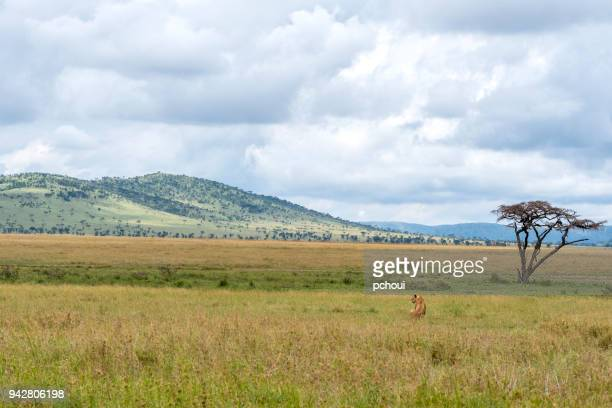 Landscape with lion in Serengeti, Africa