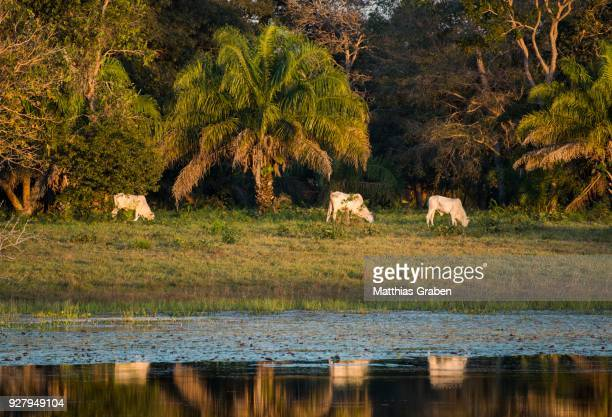 landscape with nelore cattle in the southern pantanal, fazenda barranco alto, pantanal, mato grosso do sul, brazil - mato grosso do sul state stock pictures, royalty-free photos & images