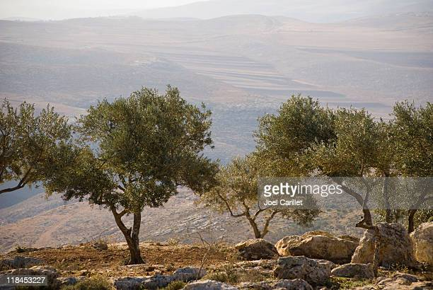 landscape with olive trees in palestine - historical palestine stock pictures, royalty-free photos & images