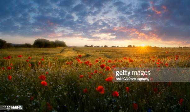 landscape with poppies at sunset. - poppy stock pictures, royalty-free photos & images