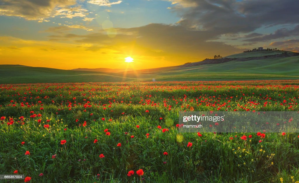 Landscape with poppies in Tuscany, Italy at sunset : Stock Photo