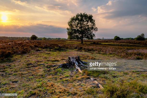 landscape with single tree in meadow at sunset - eén boom stockfoto's en -beelden