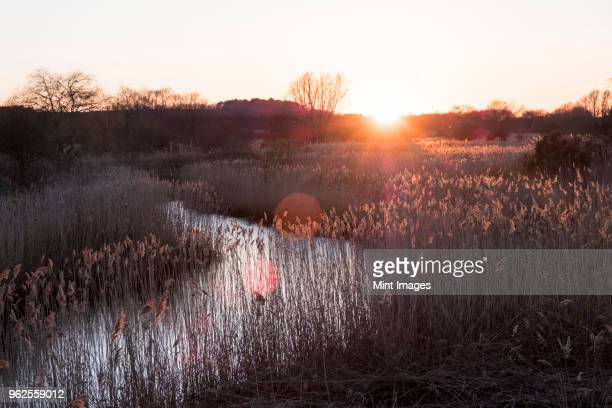 landscape with small meandering river at sunset, sunlight filtering through reeds growing on riverbank, trees in the distance. - sumpmark bildbanksfoton och bilder
