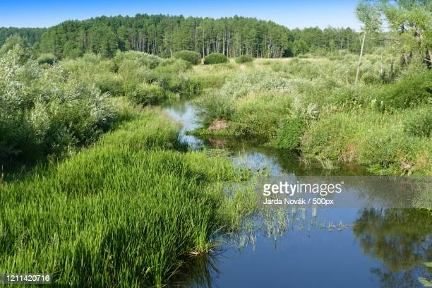 landscape with stream, grass and forest, bialowieza national park, belarus - bialowieza forest foto e immagini stock