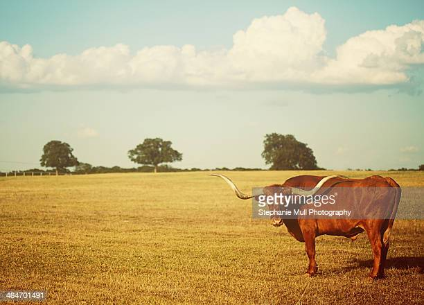 landscape with texas longhorn - texas longhorn cattle stock photos and pictures